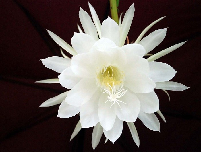 1-Kadupul-Flower-1