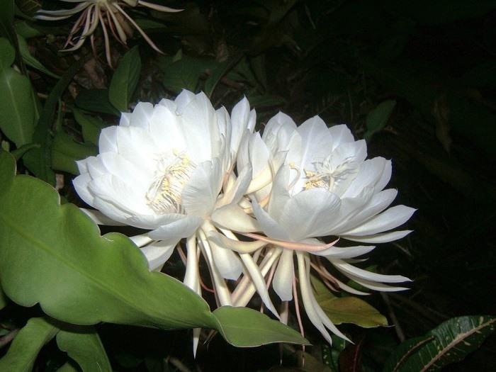 Kadupul-flower2-1024x7681