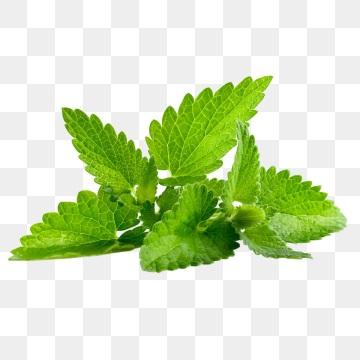 pngtree-stevia-png-image_1340009