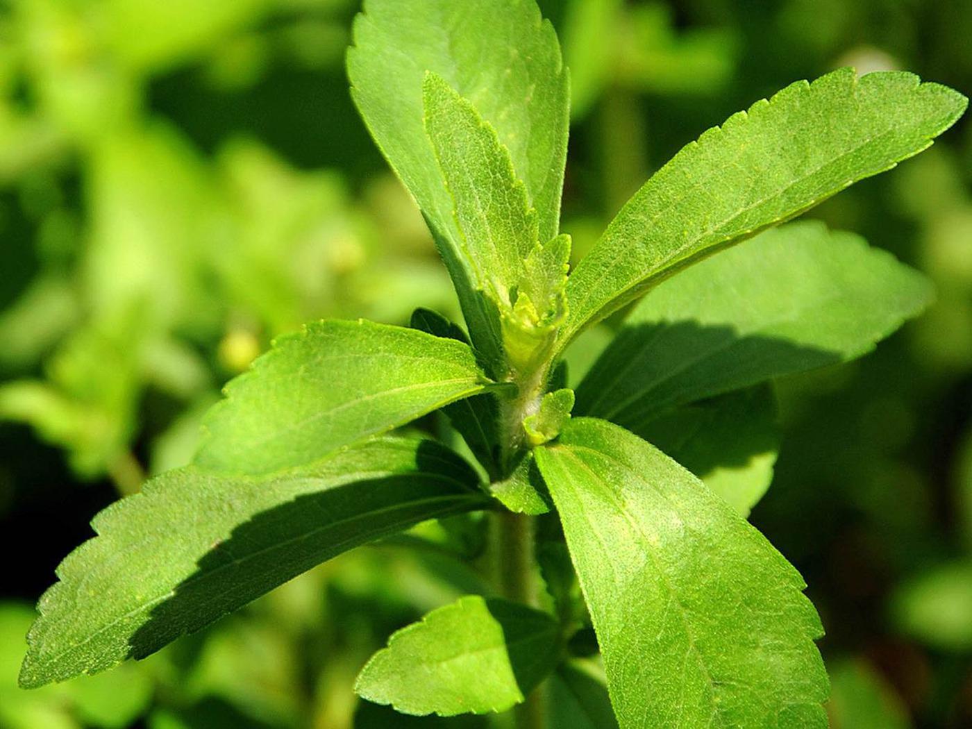 stevia-high-Res